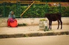 Alimentando a vaca